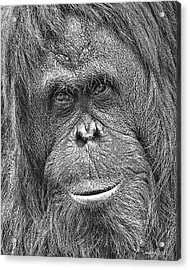 Orangutan Portrait Acrylic Print