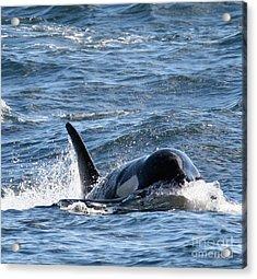Orca Whales In The San Juan Islands Acrylic Print by Sandy Buckley