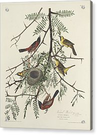 Orchard Oriole Acrylic Print by Dreyer Wildlife Print Collections