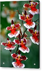 Orchid 34 Acrylic Print by Marty Koch