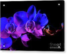 Orchid Acrylic Print by Brian Jones