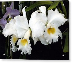 Orchids In White Acrylic Print by Mindy Newman