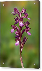 Orchis Papilionacea Acrylic Print by Yuri Peress