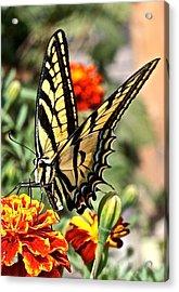 Oregon Swallowtail Butterfly  Acrylic Print