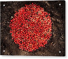 Organize Red Berries Acrylic Print by Lizzie  Johnson