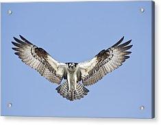 Acrylic Print featuring the photograph Osprey In Flight by Bob Decker