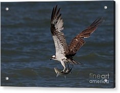 Osprey In Flight Acrylic Print by Meg Rousher