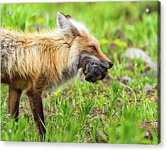 Out Foxed  Acrylic Print