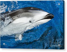 Pacific White-sided Dolphin Acrylic Print by Dave Fleetham - Printscapes