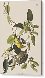 Palm Warbler Acrylic Print by John James Audubon