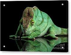 Parson Chameleon, Calumma Parsoni Orange Eye On Black Acrylic Print by Sergey Taran