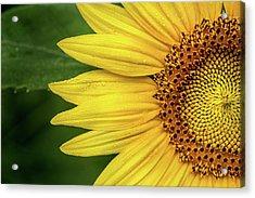 Partial Sunflower Acrylic Print