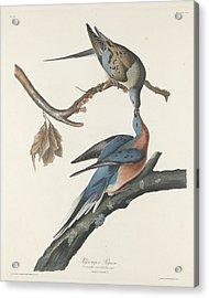 Passenger Pigeon Acrylic Print by Anton Oreshkin