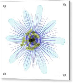Passion Flower, X-ray Acrylic Print by Ted Kinsman