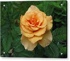 Acrylic Print featuring the photograph Peace Rose by Erik Falkensteen