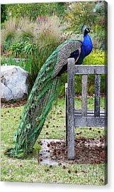 Peacock Acrylic Print by Nicholas Burningham