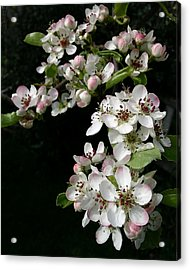 Pear Blossoms Acrylic Print by Wilbur Young