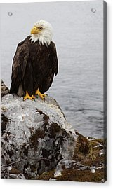 Acrylic Print featuring the photograph Perched Bald Eagle by Brandy Little
