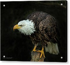 Perched Bald Eagle Acrylic Print