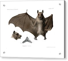 Acrylic Print featuring the drawing Peters's Epauletted Fruit Bat by Hugo Troschel
