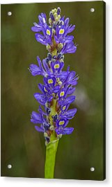 Pickerel Weed Acrylic Print