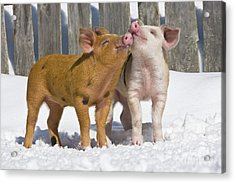Piglets Playing In Snow Acrylic Print