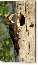 Pileated #26 Acrylic Print by James F Towne