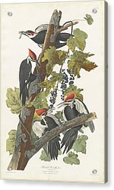 Pileated Woodpecker Acrylic Print by John James Audubon