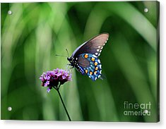 Pipevine Swallowtail Butterfly 2011 Acrylic Print