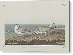 Piping Plover Acrylic Print by Rob Dreyer