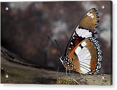 Plain Tiger Butterfly Acrylic Print by JT Lewis
