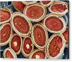 Plankton Cell Wall, Sem Acrylic Print by Steve Gschmeissner