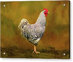 Plymouth Rock Rooster Acrylic Print by Sandi OReilly