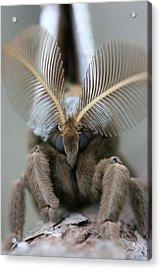 Polyphemus Moth Acrylic Print by Betsy LaMere