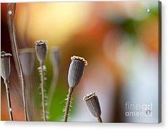 Poppy Pods Acrylic Print