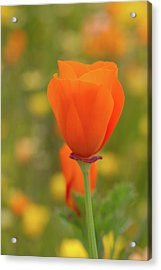 Acrylic Print featuring the photograph Poppy by Roger Mullenhour