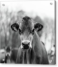 Portrait Of A Dairy Cow In The Rain Stowe Vermont Acrylic Print