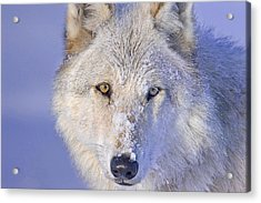 Portrait Of The White Wolf 540f Acrylic Print