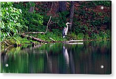 Posing Great Blue Heron  Acrylic Print