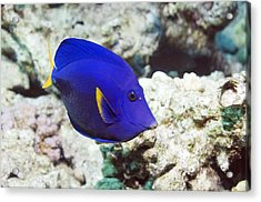 Powder-blue Tang Acrylic Print