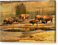 Acrylic Print featuring the photograph Gathering To Cross The Yellowstone River by Adam Jewell