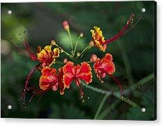 Pride Of Barbados  Caesalpinia Acrylic Print