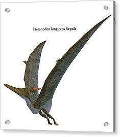 Pteranodon Reptile Wings Up Acrylic Print