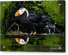 Puffin Reflected Acrylic Print