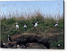 Puffins In Iceland Acrylic Print by Joana Kruse