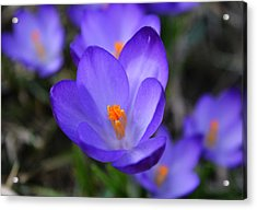 Purple Crocuses - 2015 Acrylic Print