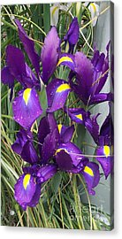 Purple Iris Acrylic Print by Gail Salitui
