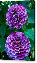 Purple Passion Dahlia  Acrylic Print