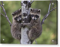 Acrylic Print featuring the photograph Raccoon Two Babies Climbing Tree North by Tim Fitzharris