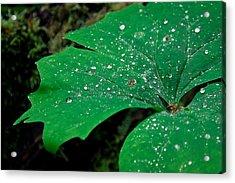 Rain Drops On Vanilla Leaf Acrylic Print by Jonathan Hansen